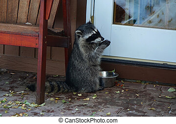 Baby Raccoon - A baby raccoon steals food from a pet dish on...