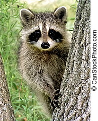 Baby Racoon - Baby racoon on tree. Close-up. (Ontario, ...
