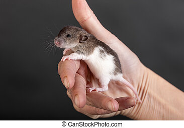 baby rat in the palm