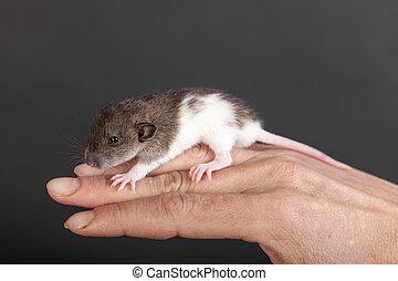 baby rat on fingers