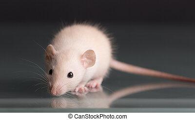 baby rat on glass closeup