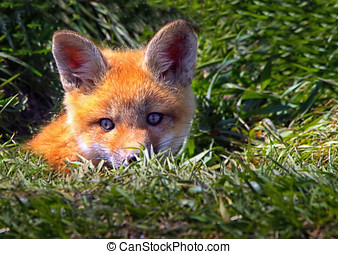 Baby Red Fox Cub peeking out of a fox den hole in the ground...