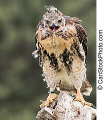 baby Red Tailed Hawk - Baby Red Tailed Hawk squawking for ...