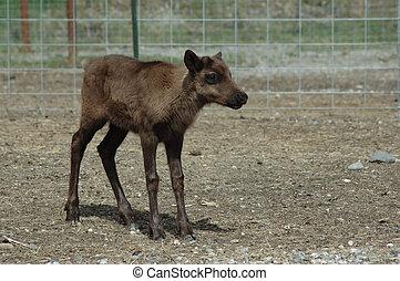 Baby reindeer at Alaskan experimental farm.