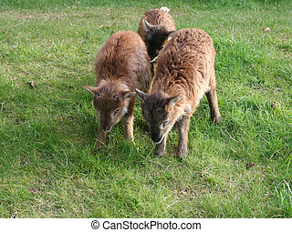 Baby Reindeer, Cairngorms, Scottish Highlands