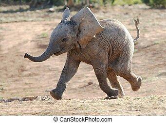baby, rennender , elefant