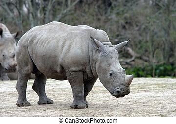 Baby Rhino - Baby rhinoceros posing.