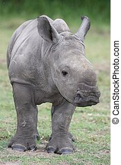 Baby Rhinoceros - Cute baby white rhino with large feet