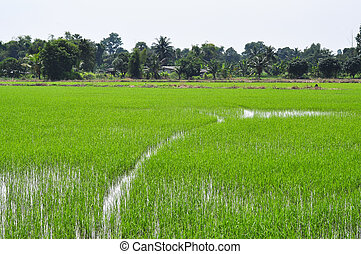 baby rice in fields