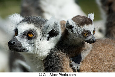 cute ring-tailed lemur with baby