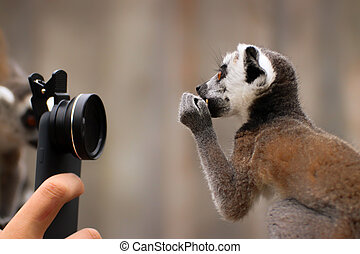 Baby ring-tailed lemur with camera
