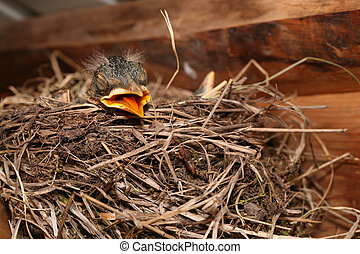 Baby robin crying out for food in nest