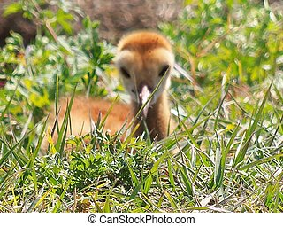 Baby Sandhill Crane 001