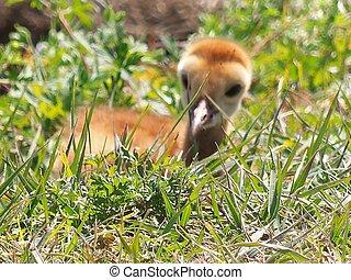 Baby Sandhill Crane 002