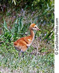 Baby Sandhill Crane 020
