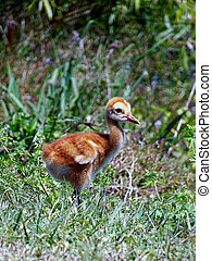 Baby Sandhill Crane 021