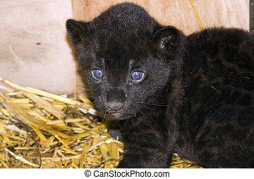 baby, schwarz, jaguar