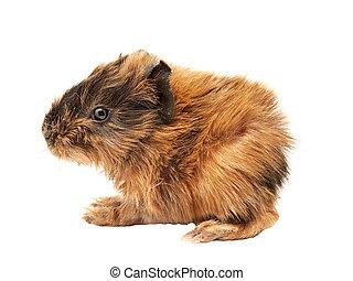 baby, schwein, guinea