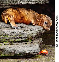Baby Sea Lion Looking at Sally Lightfoot Crab