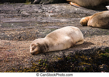 Baby sea lion sleeping on a rock