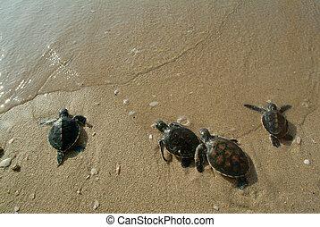 Baby sea turtle.