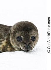 baby seal in Antarctica