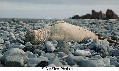 Baby Seal looking at the camera 1
