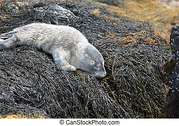 Baby Seal on Rocks Layered in Seaweed in Maine