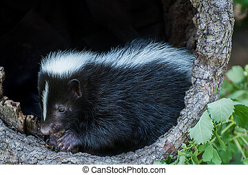 Baby Skunk inside a Hollow Log