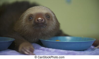 Baby Sloth After Feeding, Costa Rica Sanctuary - Close-up...