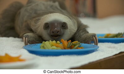 Baby Sloth Enjoying A Meal, Costa Rica Sanctuary - Close-up...