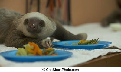 Baby Sloth On Food Table, Costa Rica Sanctuary - Close-up...