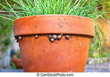 Group of baby snails resting on the edge of a terracotta garden plant pot