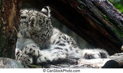 Baby snow leopard Panthera uncia . Young snow leopard licks...