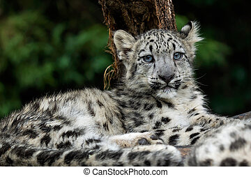 Baby snow leopard (Panthera uncia). Young snow leopard.