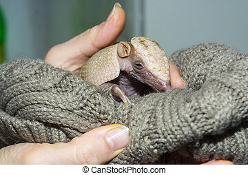 Baby southern three-banded armadillo in a hand