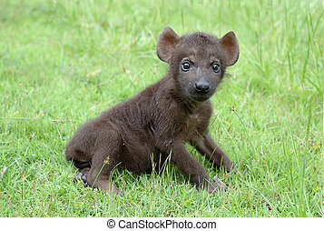 baby spotted hyena