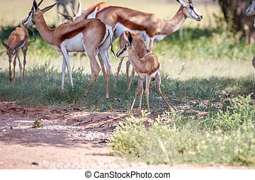 Baby Springbok with the herd.