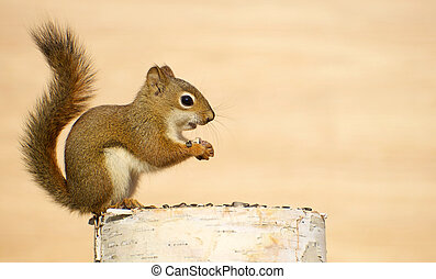 Baby squirrel. - Close up image of a cute baby squirrel on a...
