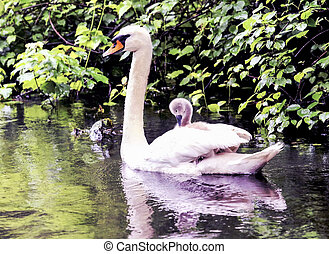 Baby swan riding on mothers back