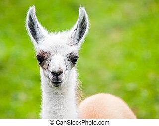 baby, syd amerikansk, pattedyr, cute, portrait., llama