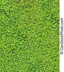 Baby Tears (Soleirolia soleirolii) as a lush green...