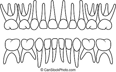 baby teeth dentition on white