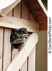 Baby Tree Swallow - Very young baby tree swallow waiting at...