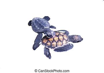 Baby turtle   isolated on the white background