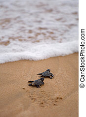 Baby turtles making it's way to the ocean - Loggerhead sea...