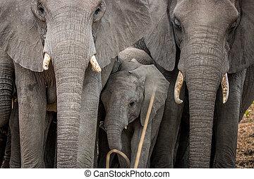 baby, tussen, kudde, elephants., elefant
