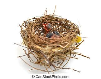 baby vogel, in, een, nest