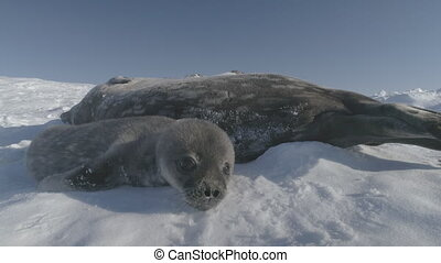 Baby weddell seal sniff camera antarctica close-up