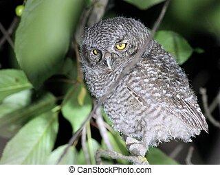 Baby Western Screech-owl - A baby Western Screech-owl...